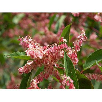 白藜芦醇 植物提取物