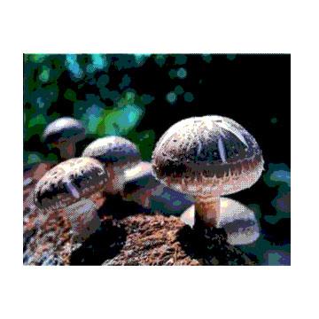香菇细粉 植物提取物