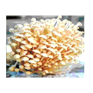 金针菇细粉 植物提取物