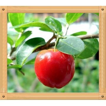 西印度针叶樱桃提取物