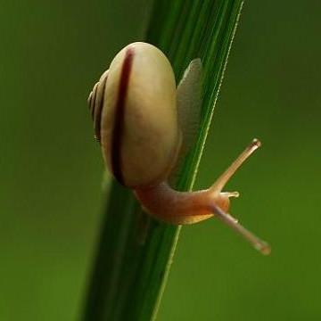 蜗牛提取物