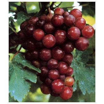 葡萄籽提取粉