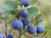越橘提取物/藍莓提取物/中國越橘提取物