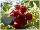 供应山楂果和山楂叶提取物