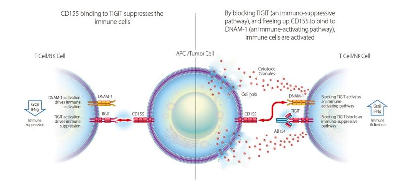 TIGIT抗体作用机制