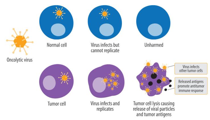溶瘤病毒特异性杀死肿瘤细胞