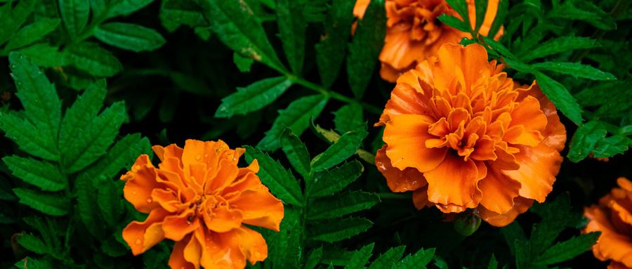 万寿菊的药理作用及其研究利用现状