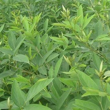 药食两用木豆的药理活性及应用前景